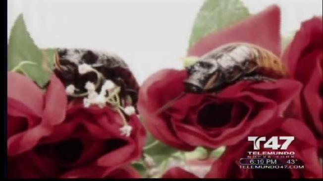 Cucarachas del amor