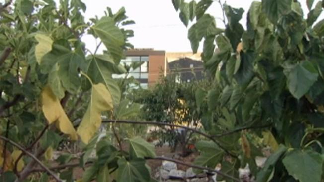 San Francisco: incentivan huertos caseros