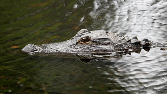 Florida: Capturan un enorme caimán