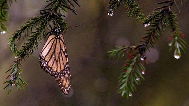 Anticipan ascenso de mariposa monarca