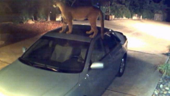 Puma merodea vecindario de San José