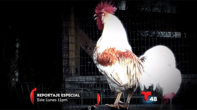 Reportaje especial: ¿Qué pica el pollo?