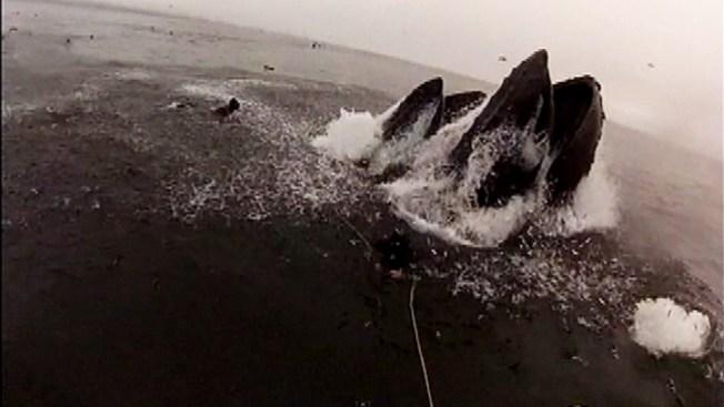 Ballenas por poco se tragan a buzo