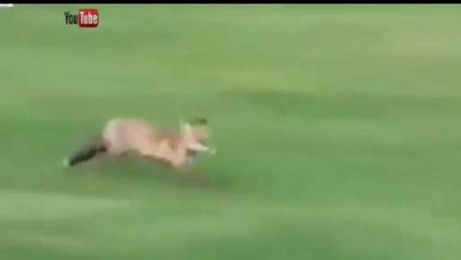 Increíble: el zorro que juega a golf
